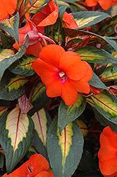 Painted Paradise Orange New Guinea Impatiens (Impatiens hawkeri 'Painted Paradise Orange') at Snavely's Garden Corner