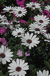 Soprano White African Daisy (Osteospermum 'Soprano White') at Snavely's Garden Corner