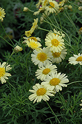Madeira Crested Yellow Marguerite Daisy (Argyranthemum frutescens 'Madeira Crested Yellow') at Snavely's Garden Corner