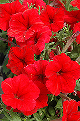 Madness Red Petunia (Petunia 'Madness Red') at Snavely's Garden Corner