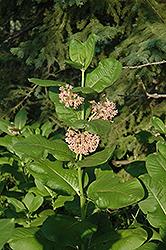 Common Milkweed (Asclepias syriaca) at Snavely's Garden Corner