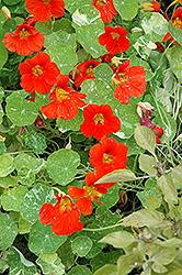 Alaska Nasturtium (Tropaeolum majus 'Alaska') at Snavely's Garden Corner