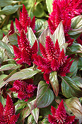 Kosmo Purple Red Celosia (Celosia 'Kosmo Purple Red') at Snavely's Garden Corner