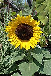 Miss Sunshine Annual Sunflower (Helianthus annuus 'Miss Sunshine') at Snavely's Garden Corner