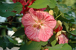 Bella Pink Flowering Maple (Abutilon 'Bella Pink') at Snavely's Garden Corner
