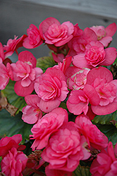 Dragone Dusty Rose Begonia (Begonia 'Dragone Dusty Rose') at Snavely's Garden Corner