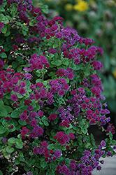 Artist Purple Flossflower (Ageratum 'Agmontis') at Snavely's Garden Corner
