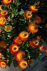 Mohave Fire Strawflower (Bracteantha bracteata 'Mohave Fire') at Snavely's Garden Corner