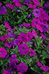 Mambo Violet Petunia (Petunia 'Mambo Violet') at Snavely's Garden Corner