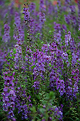 Serena® Blue Angelonia (Angelonia angustifolia 'Serena Blue') at Snavely's Garden Corner