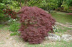 Red Filigree Lace Japanese Maple (Acer palmatum 'Red Filigree Lace') at Snavely's Garden Corner