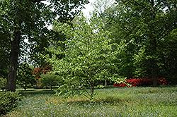 Dove Tree (Davidia involucrata) at Snavely's Garden Corner