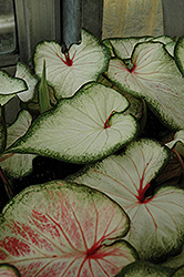 White Wonder Caladium (Caladium 'White Wonder') at Snavely's Garden Corner