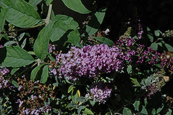 Lo And Behold® Lilac Chip Dwarf Butterfly Bush (Buddleia 'Lo And Behold Lilac Chip') at Snavely's Garden Corner