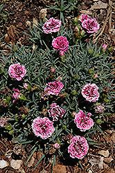 SuperTrouper Velvet White Carnation (Dianthus caryophyllus 'SuperTrouper Velvet White') at Snavely's Garden Corner