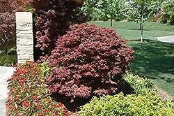 Rhode Island Red Japanese Maple (Acer palmatum 'Rhode Island Red') at Snavely's Garden Corner