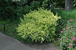 Ogon Spirea (Spiraea thunbergii 'Ogon') at Snavely's Garden Corner