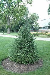 Canaan Fir (Abies balsamea 'var. phanerolepis') at Snavely's Garden Corner