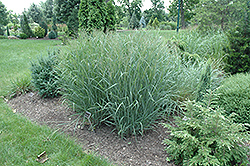 Heavy Metal Blue Switch Grass (Panicum virgatum 'Heavy Metal') at Snavely's Garden Corner