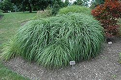 Adagio Maiden Grass (Miscanthus sinensis 'Adagio') at Snavely's Garden Corner