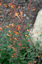 Tango Hyssop (Agastache aurantiaca 'Tango') at Snavely's Garden Corner