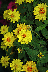 Profusion Double Yellow Zinnia (Zinnia 'Profusion Double Yellow') at Snavely's Garden Corner
