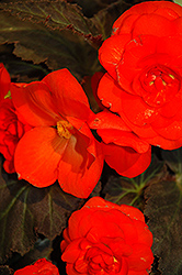 Nonstop® Mocca Deep Orange Begonia (Begonia 'Nonstop Mocca Deep Orange') at Snavely's Garden Corner