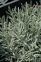 Phenomenal Lavender (Lavandula x intermedia 'Phenomenal') at Snavely's Garden Corner