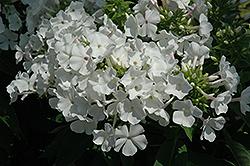 White Flame Garden Phlox (Phlox paniculata 'White Flame') at Snavely's Garden Corner