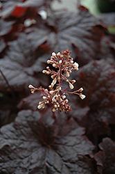 Cajun Fire Coral Bells (Heuchera 'Cajun Fire') at Snavely's Garden Corner