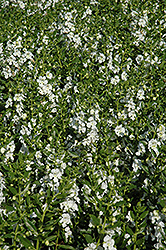 Angelface® White Angelonia (Angelonia angustifolia 'Angelface White') at Snavely's Garden Corner