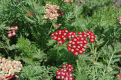 Song Siren Laura Yarrow (Achillea millefolium 'Song Siren Laura') at Snavely's Garden Corner