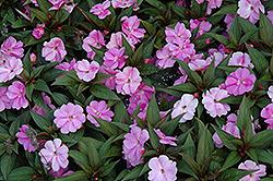Divine Lavender New Guinea Impatiens (Impatiens hawkeri 'Divine Lavender') at Snavely's Garden Corner