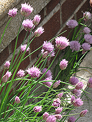 Giant Chives (Allium sibiricum) at Snavely's Garden Corner