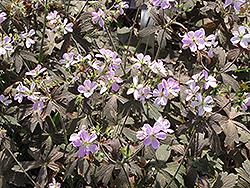 Espresso Cranesbill (Geranium maculatum 'Espresso') at Snavely's Garden Corner