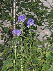 Autumn Monkshood (Aconitum carmichaelii 'Arendsii') at Snavely's Garden Corner