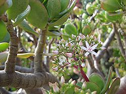 Jade Plant (Crassula ovata) at Snavely's Garden Corner