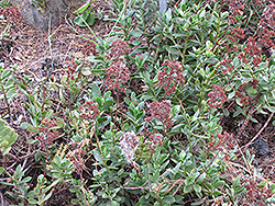 Red Carpet (Crassula pubescens ssp. Radicans) at Snavely's Garden Corner