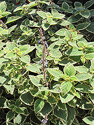Country Borage (Plectranthus amboinicus 'Variegatus') at Snavely's Garden Corner
