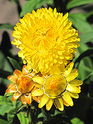 Dreamtime Jumbo Yellow Strawflower (Bracteantha bracteata 'Dreamtime Jumbo Yellow') at Snavely's Garden Corner