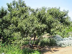 Common Peach (Prunus persica) at Snavely's Garden Corner