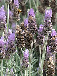 French Lavender (Lavandula dentata) at Snavely's Garden Corner
