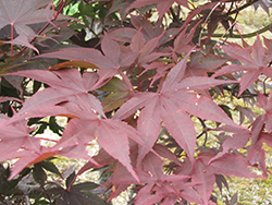 Red Emperor Japanese Maple (Acer palmatum 'Red Emperor') at Snavely's Garden Corner