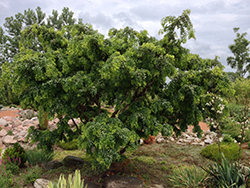 Twisted Baby® Black Locust (Robinia pseudoacacia 'Lace Lady') at Snavely's Garden Corner