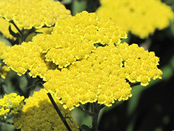 Moonshine Yarrow (Achillea 'Moonshine') at Snavely's Garden Corner