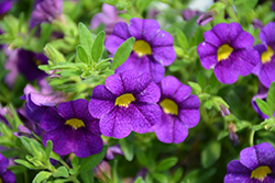 Superbells® Blue Calibrachoa (Calibrachoa 'Superbells Blue') at Snavely's Garden Corner