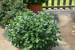 Low Scape® Mound Aronia (Aronia melanocarpa 'UCONNAM165') at Snavely's Garden Corner
