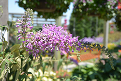 InSpired Violet™ Butterfly Bush (Buddleia 'ILVOargus2') at Snavely's Garden Corner