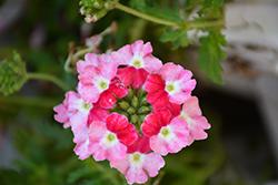 Superbena Sparkling Ruby Verbena (Verbena 'VEAZ0021') at Snavely's Garden Corner