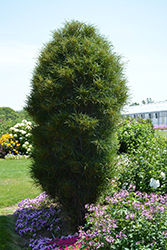Fine Line Buckthorn (Rhamnus frangula 'Ron Williams') at Snavely's Garden Corner